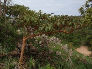The False Wild Medlar - Whats happening in and around Harare